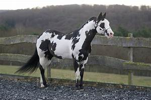 black overo - Paint Horse stallion Colonel Coosader ...