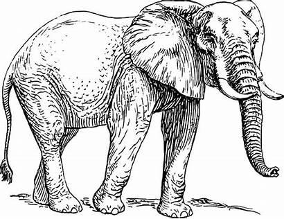 African Elephant Coloring Pages Sketch Ausdrucken Elefanten
