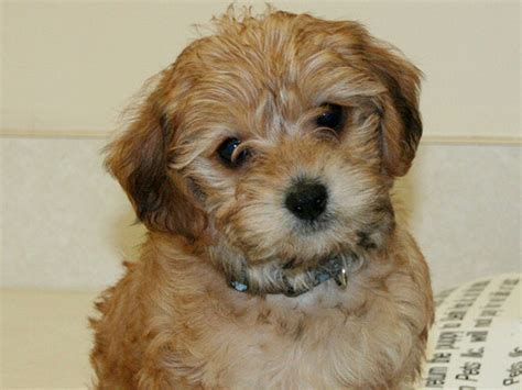 Crazy Pictures: Cute yorkie poo pics