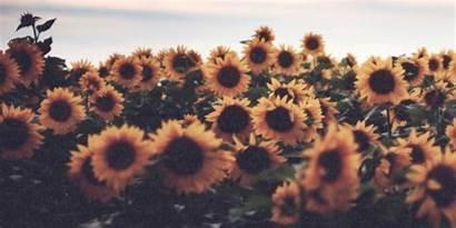 Header Sunflower Headers Capa Pc Sunflowers Para