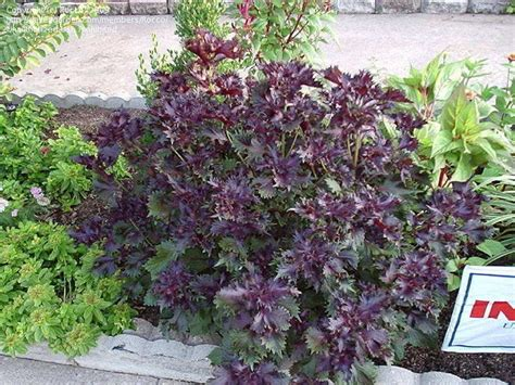 purple leaf trees identification plant identification closed plant with purple leaves 1 by