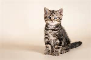 cat sitting cat how to teach your cat to sit in four steps