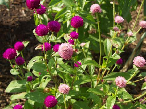 globe amaranth florez nursery globe amaranth gomphrena globosa