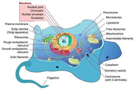 Draw Well Labelled Diagram Eukaryotic Nucleus How