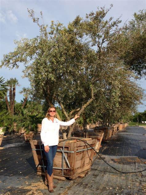 olive garden alvin tx european olive plantant