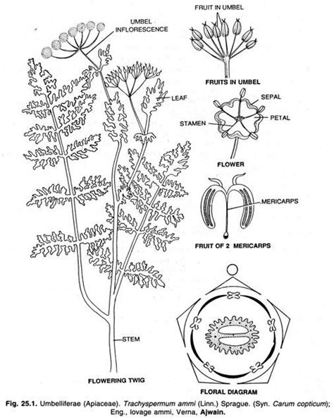 An Overview on Family –Apiaceae (Umbelliferae) | Botany