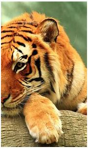 Tiger Close up 4K Wallpapers   HD Wallpapers   ID #20894
