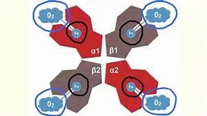 Transportproteine Am Beispiel Von H U00e4moglobin