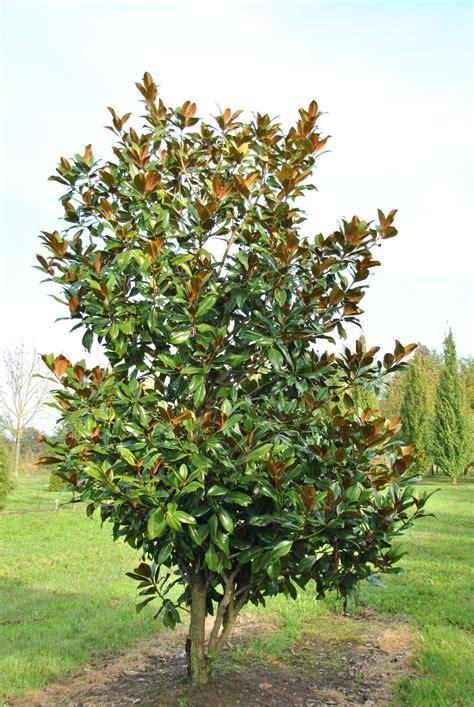 magnolia tree magnolia grandiflora galissoni 232 re southern magnolia evergreen magnolia van den berk nurseries