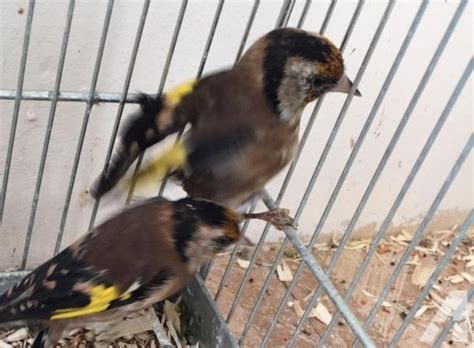 male european goldfinch for sale in fremont california