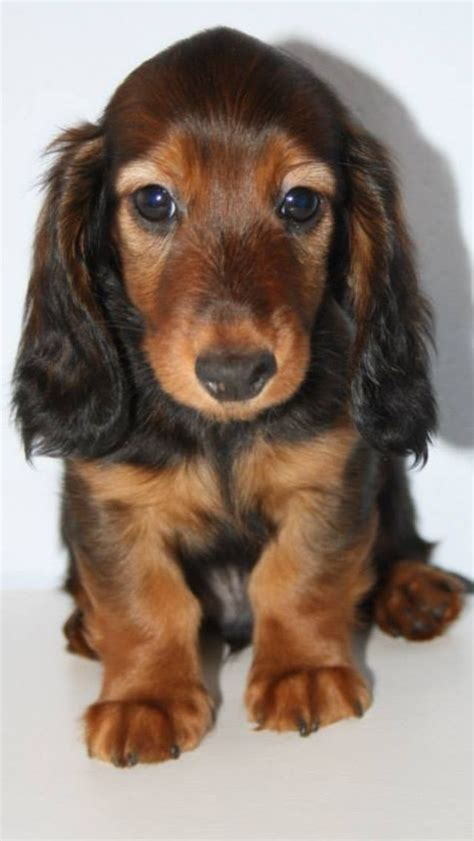 Best 25  Red cocker spaniel ideas on Pinterest   Red