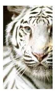 White Tiger information - YouTube