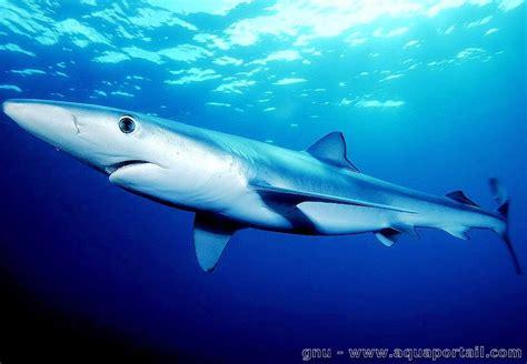 poissons cartilagineux requins raies fiches aquariophilie