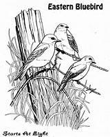 Bluebird Coloring Bird Facts Walk Startsateight Nature Children Nesting Sheet Template sketch template