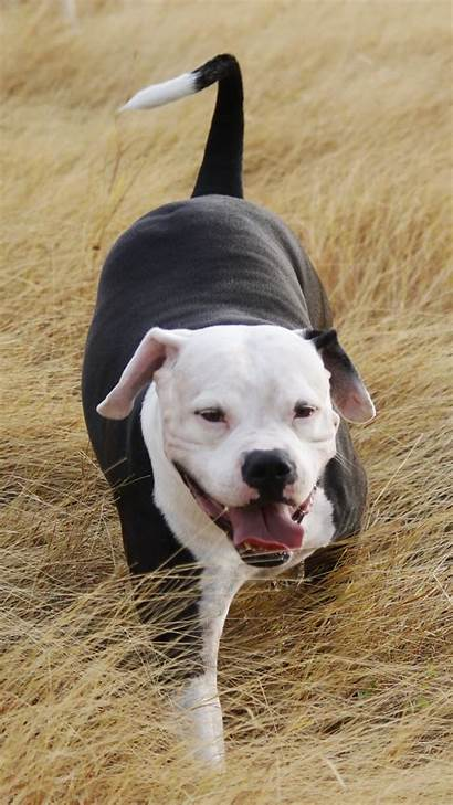 Dog Pitbull Pit Bull Grass Walk Wallpapertag