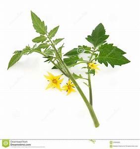 Feuille De Tomate : brin de feuille de plante de tomate photo stock image du ~ Melissatoandfro.com Idées de Décoration