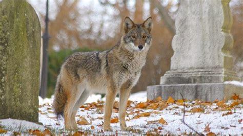wolflike   key   future