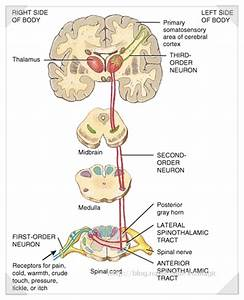 Somatosensory System Pictures to Pin on Pinterest