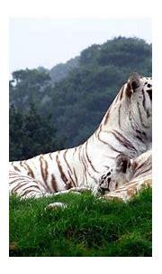 Wildlife Animals White Tiger Documentary | Animal Planet ...