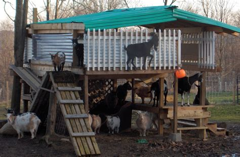 farm maplewood hill top goats