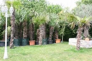 Trachycarpus Fortunei Auspflanzen : trachycarpus fortunei ~ Eleganceandgraceweddings.com Haus und Dekorationen