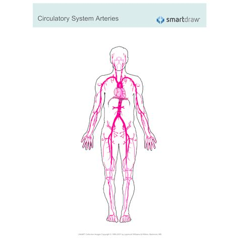 circulatory system arteries