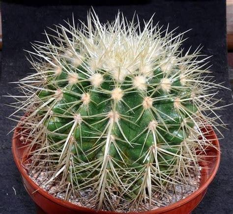 Cactus Da Interno by Piante Grasse Da Appartamento Piante Appartamento