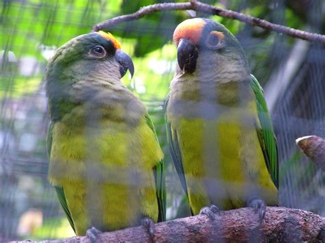 Peach-Fronted Conure Facts, Care as Pets, Price, Pictures