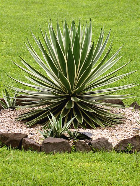 best agave top seller agave angustifolia marginata candy 4 pot patioplants com