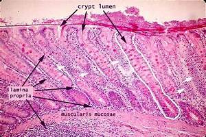 Large Intestine Histology Goblet Cells | www.pixshark.com ...