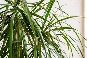 Palme Gelbe Blätter : palme bekommt gelbe bl tter woran kann 39 s liegen ~ Lizthompson.info Haus und Dekorationen