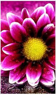 Pink Flower 4K Wallpapers   HD Wallpapers   ID #19676