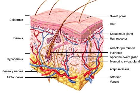 Skin Cell Diagram Label by Integumentary System Bergenology A Tool For Anatomy And