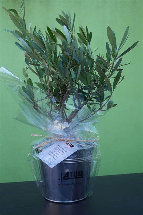arrosage d un olivier en pot entretien d un olivier en pot 28 images comment entretenir un olivier en pot cultiver un