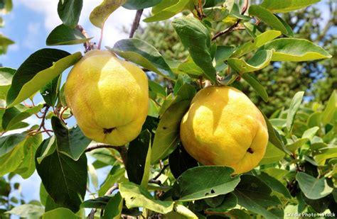 le coing plantation culture récolte et recette coings détente jardin