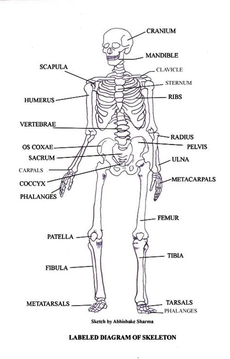 Simple Bone Diagram by Labeled Skeletal System Diagram