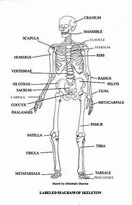 Bones In The Human Body