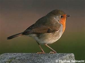 Vogel Mit Roter Brust : rotkehlchen ~ Eleganceandgraceweddings.com Haus und Dekorationen