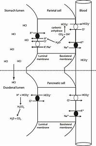 Hcl Production And Neutralization In The Gastrointestinal Tract