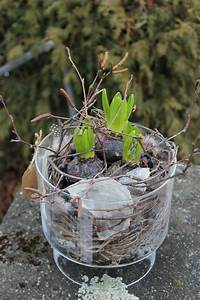Blumenzwiebeln Pflanzen Frühjahr : fr hlingsdekoration selber machen hyazinthe in glasgef ss pflanzen ausgarnieren fr hlings ~ A.2002-acura-tl-radio.info Haus und Dekorationen