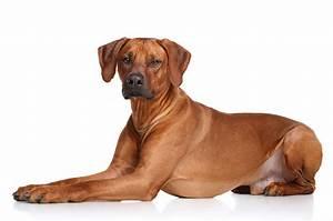 Rhodesian Ridgeback Dogs Breed Information Omlet