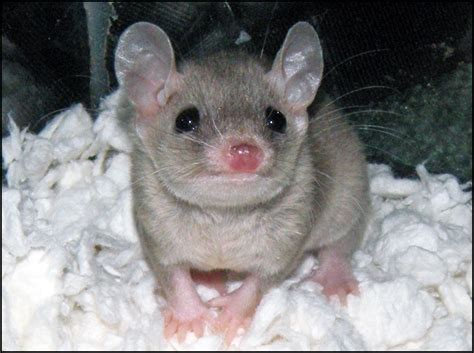 tailed opossum blossom the short tailed opossum by bapity88 on deviantart