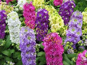 Blumen Im Sommer : levkojen levkoje matthiola sommer blumen hnl rittersporn bunter mix 50 samen ebay ~ Whattoseeinmadrid.com Haus und Dekorationen