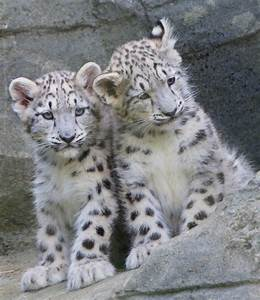 4.Baby Snow Leopards at Marwell | Paul..Riley | Flickr