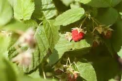 Wann Schneidet Man Erdbeeren Zurück : anleitungen im bereich garten zum thema himbeeren ~ Lizthompson.info Haus und Dekorationen