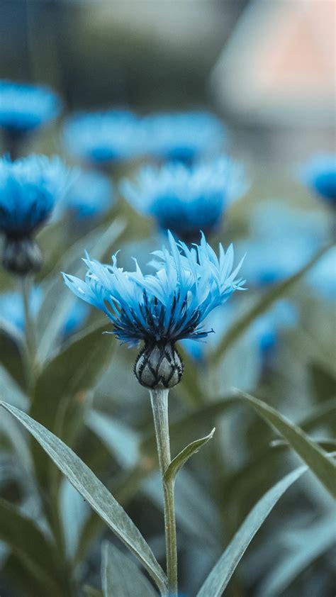 Wallpaper Blue flowers, HD, 4K, Flowers, #5520 | Wallpaper