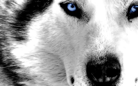 Cool Animal Wallpapers Wolf - cool backgrounds of animals wallpaper cave