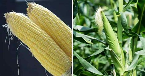 Corn vs. Maize, What's the Difference? - Gardening Channel