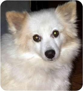 CeCe | Adopted Dog | Overland Park, KS | Pomeranian ...