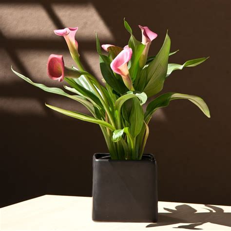 how to take care of a calla plant calla lily in black ceramic square container peace lilies house plants emilysplants com